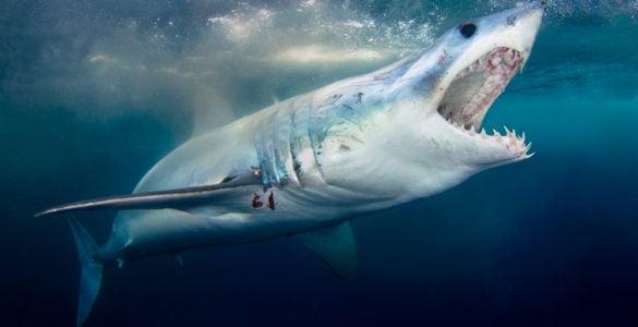 mako shark feeding