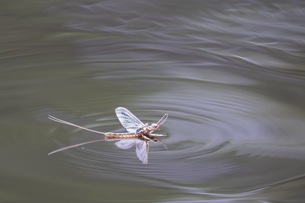 mayfly on the water