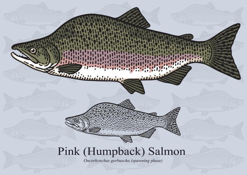 pink salmon species
