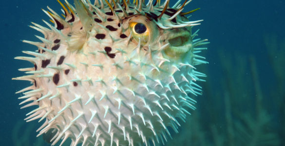 can you eat puffer fish
