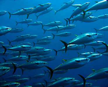 school of bluefin tuna feeding