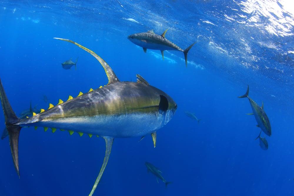 school of yellowfin tuna