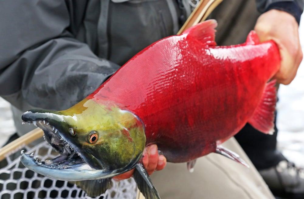 sockeye caught by fisherman