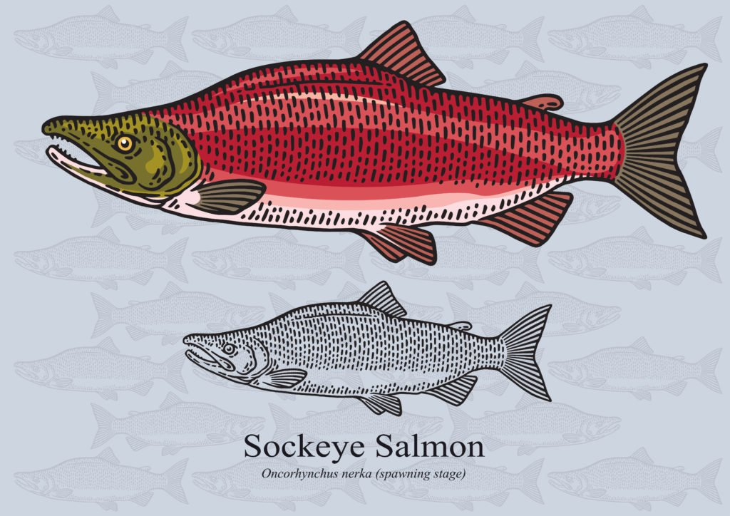 sockeye salmon species