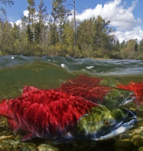 sockeye swimming up stream