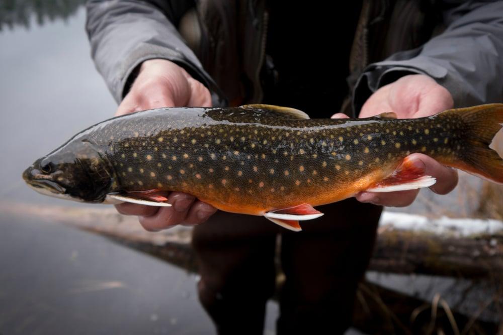 splake trout