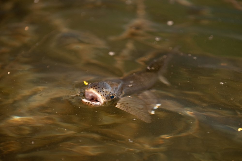 trout eating flies
