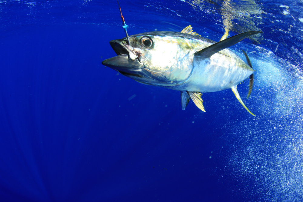 yellowfin tuna caught with a hook