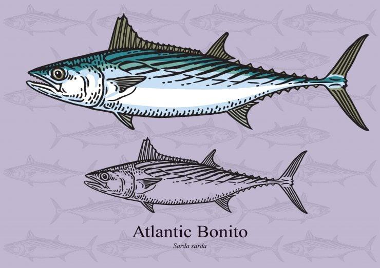 atlantic bonito