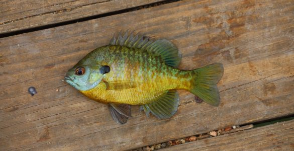 can you eat bluegill fish