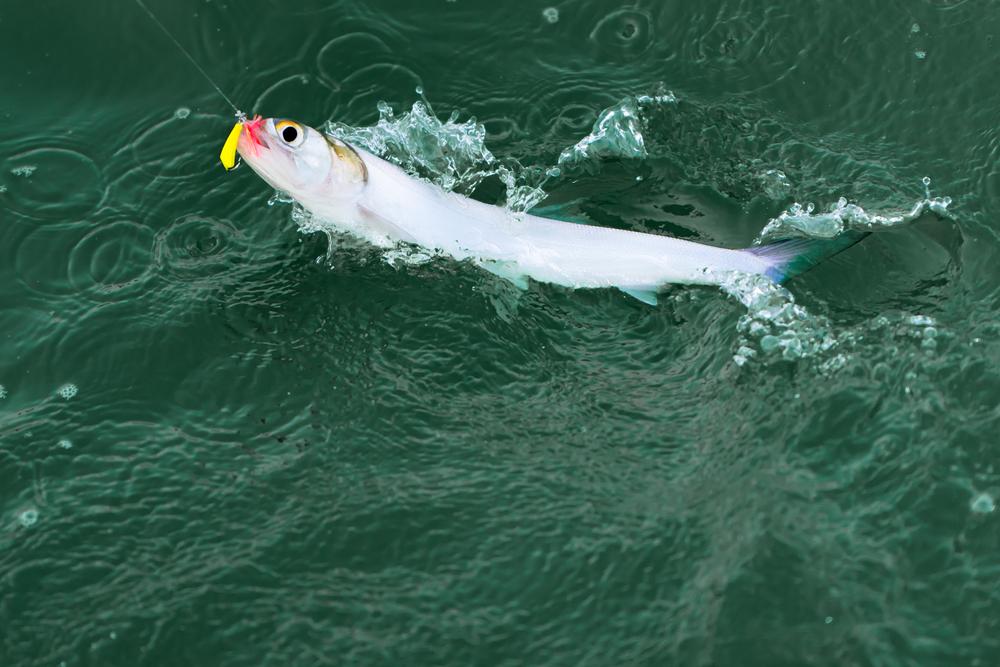 catching ladyfish