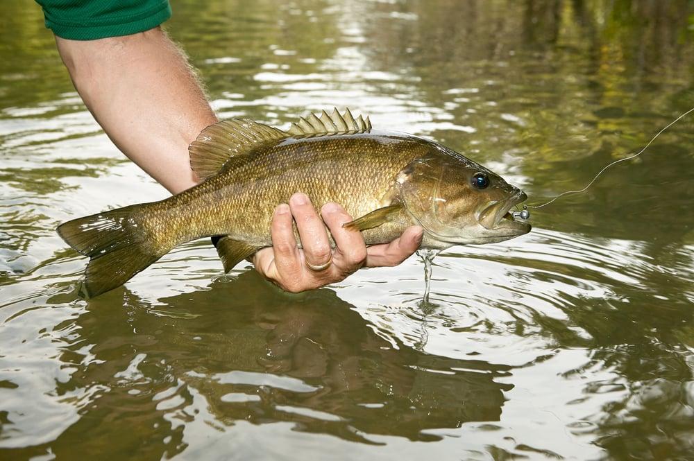 catching smallmouth bass