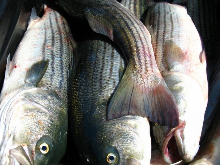 commercial fishing striped bass