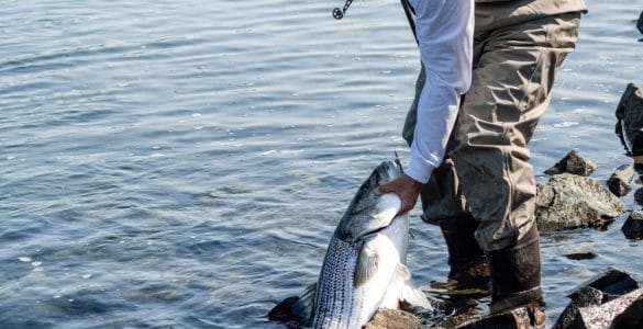 surf fisherman with large striped bass