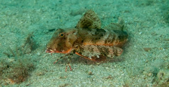 searobin fish
