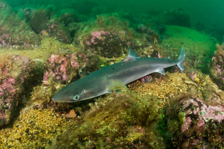 spiney dogfish