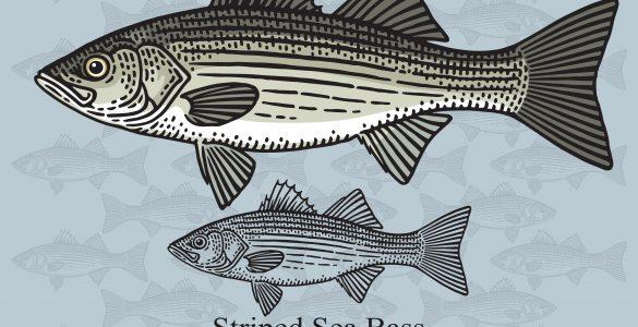 striped bass Morone saxatilis