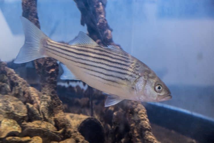 striped bass in haitat