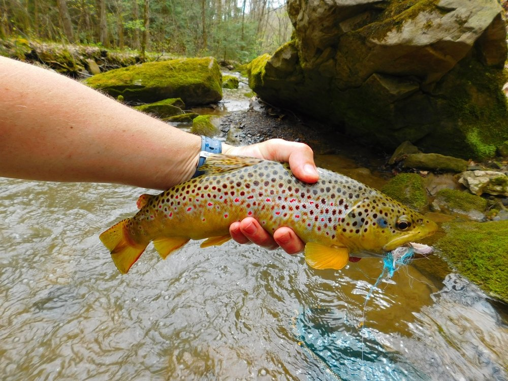 Wild Brown Trout from Pennsylvania