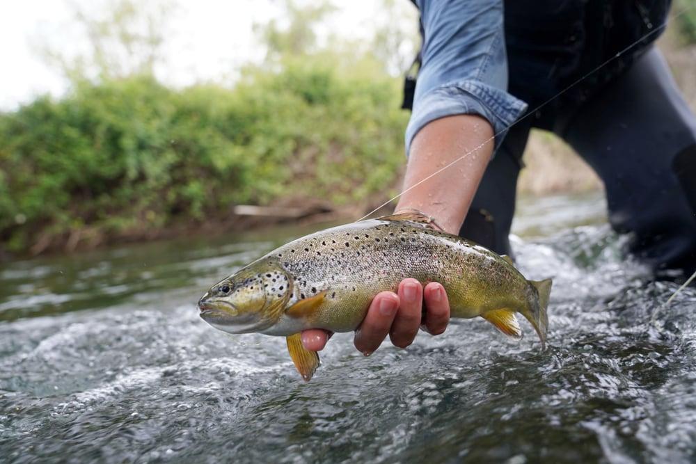 brown trout little juniata river