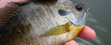panfish line