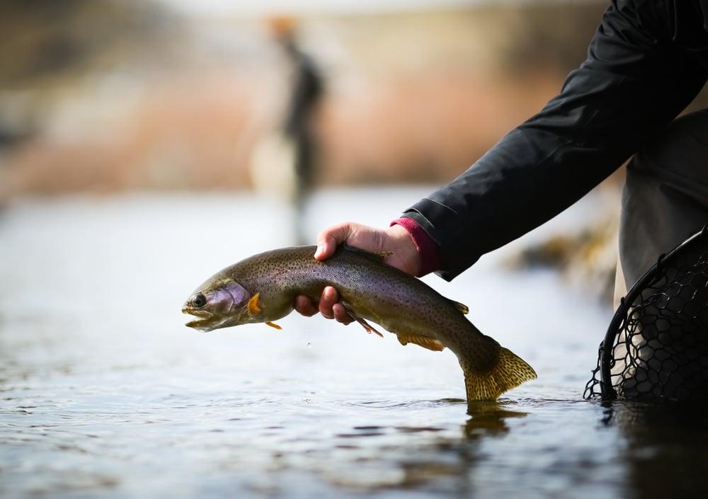 Bighorn River rainbow trout