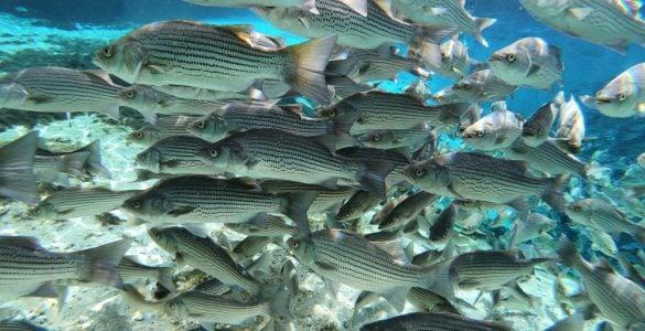 school of spawning striped bass