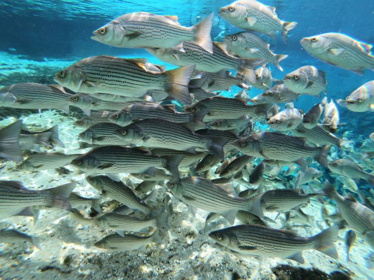 school of spawning striped bass