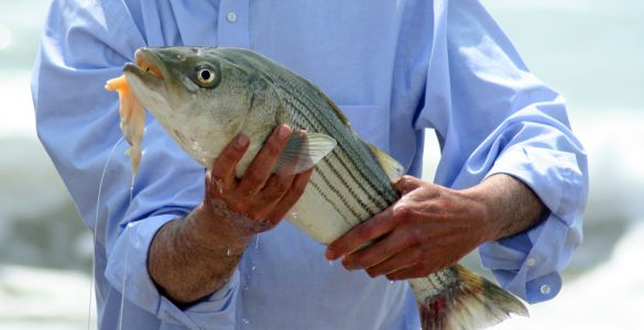 striped bass hooked in the mouth