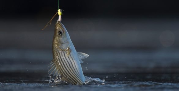 20 pound test for striped bass