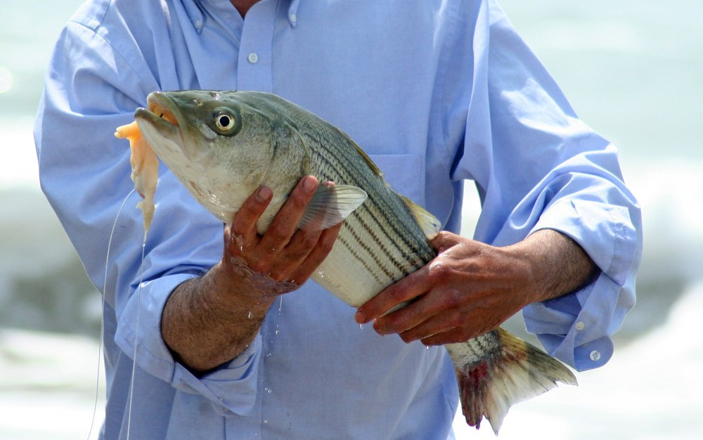 Striped bass caught with bait