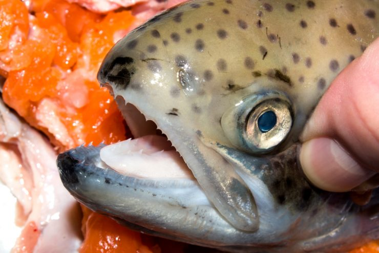 The teeth of the trout