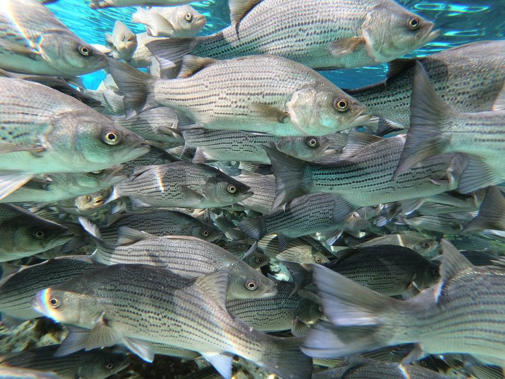 school of hybrid striped bass