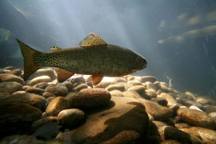 trout living in its habitat