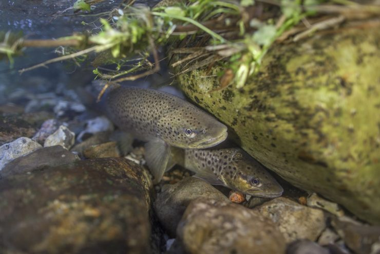 trout spawning in a creek