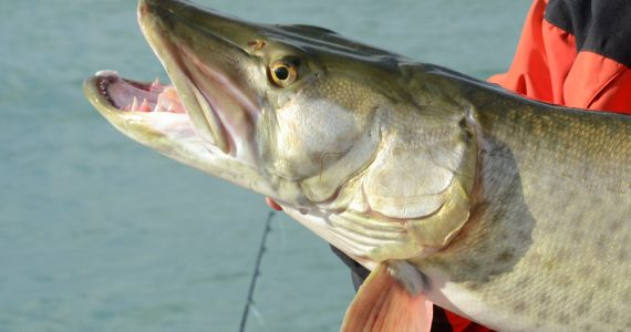 Muskie fish