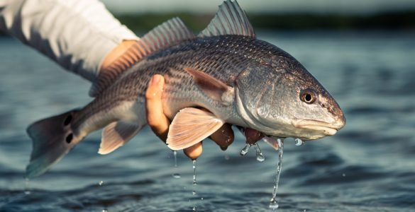 person holding redfish above water