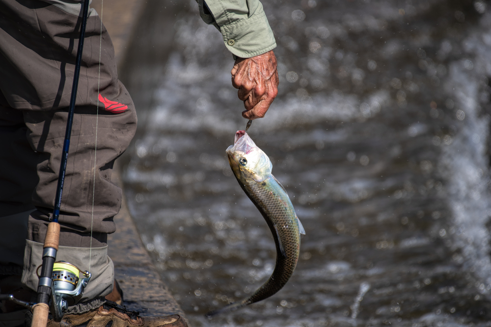 catching a shad