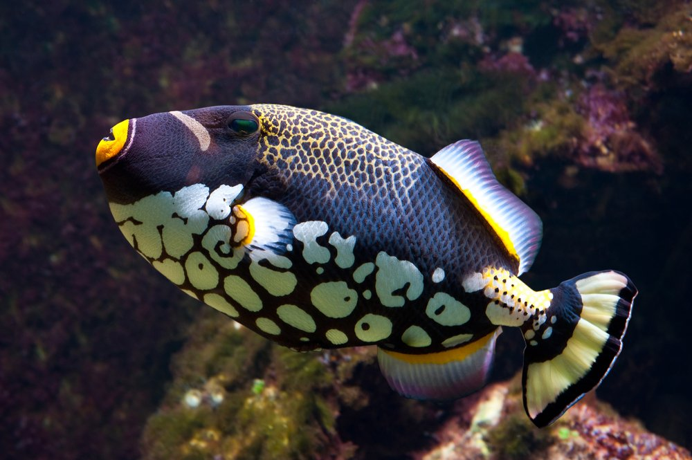 clown trigger-fish in front of dark coral