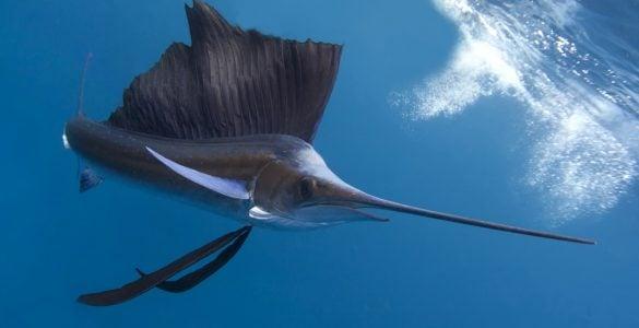 can you eat sailfish