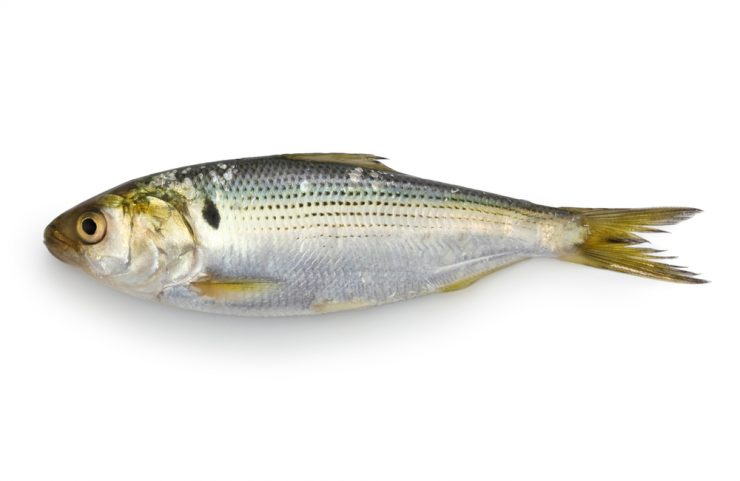 shad fish for eating