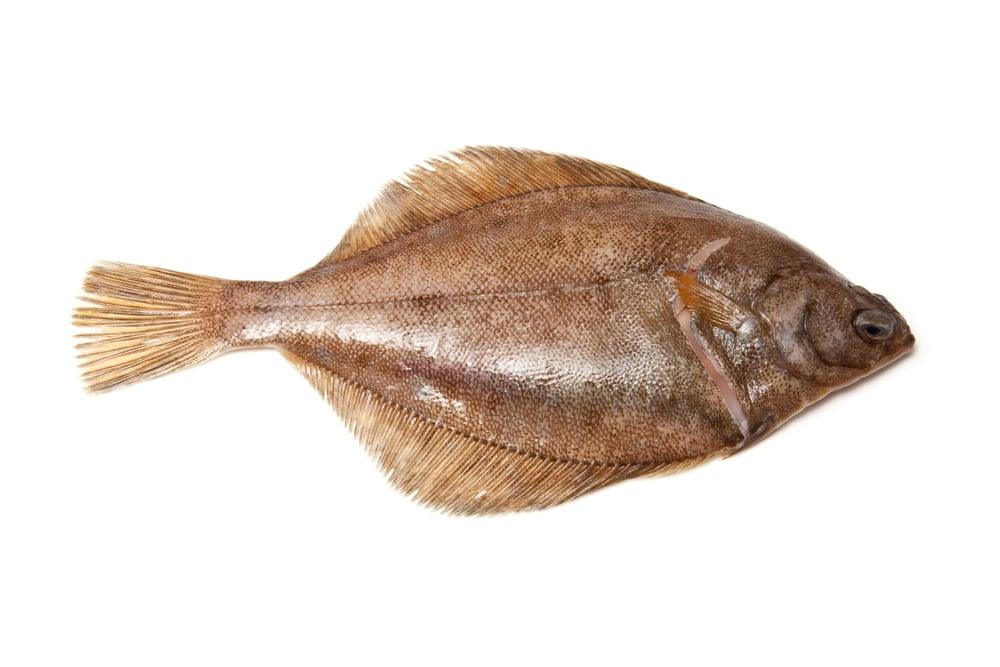 Brown Dab Flatfish on White Background