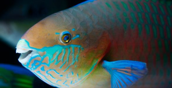 Green-blotched Parrotfish