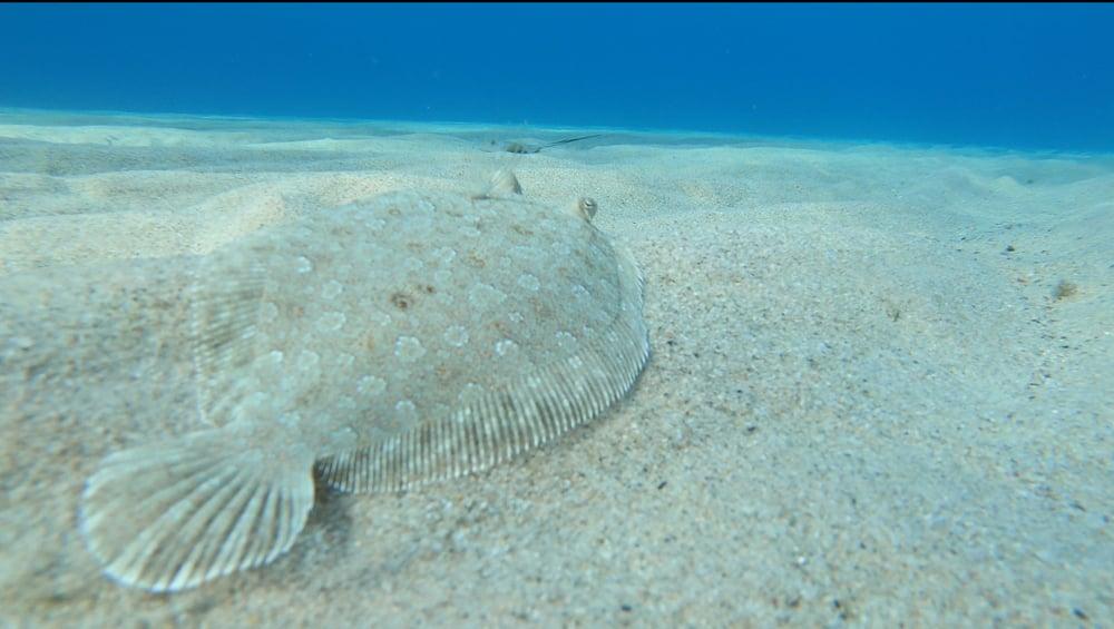 Sole Flatfish camouflaged on sand
