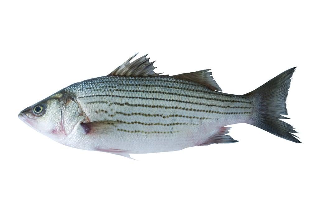 Striped white bass on white background