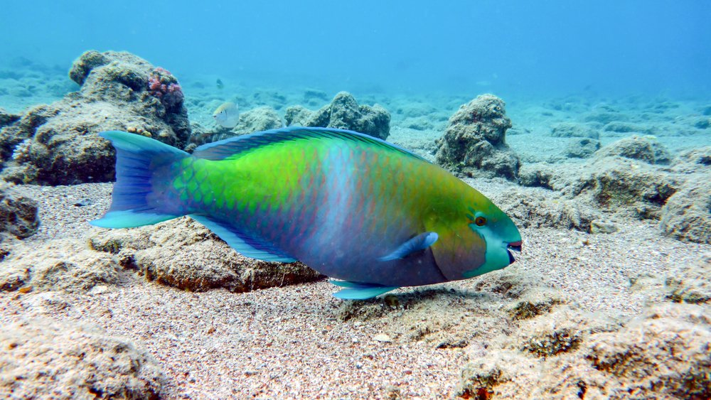 Colorful Parrot Fish