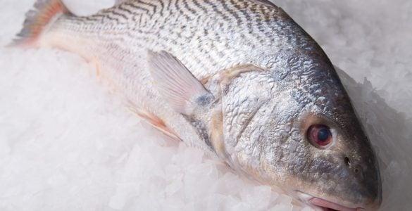 Croaker fish on ice