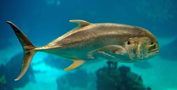 Can You Eat Jack Crevalle?