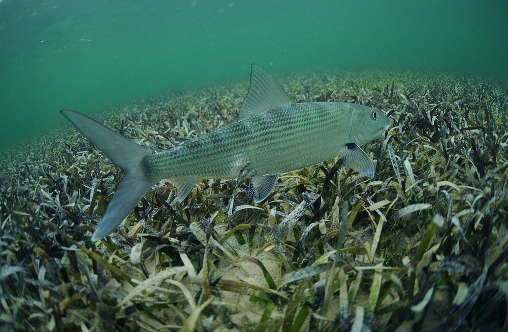 a bonefish is swimming in the grass flats