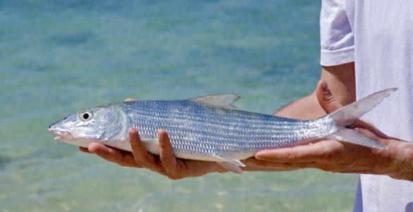 man holding fresh bonefish caught in cuba close up